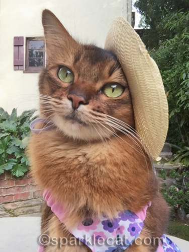 somali cat takes another selfie wearing her hat