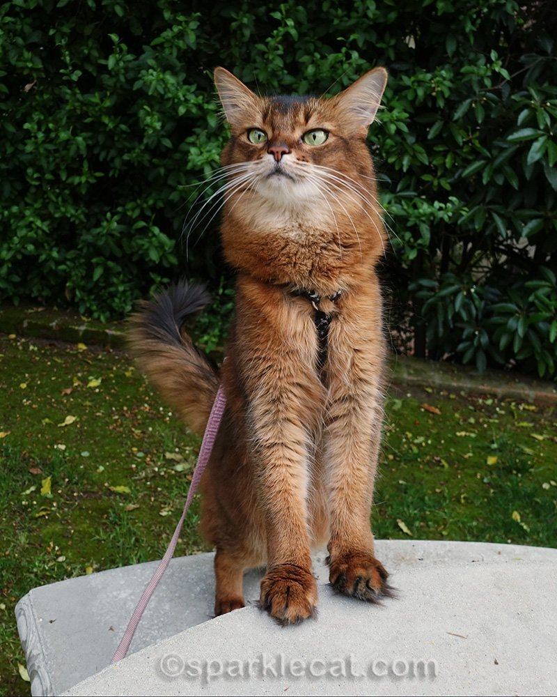 somali cat with front paws on concrete table