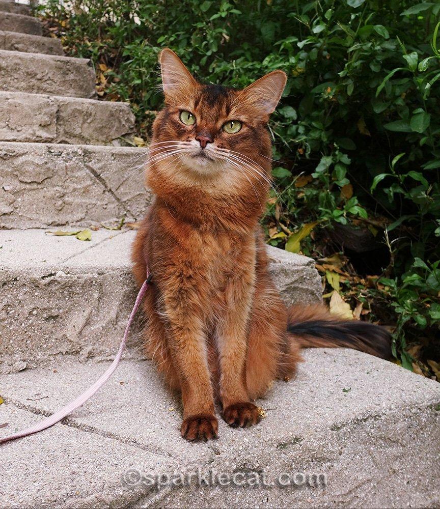 somali cat posing on steps for outside photo session