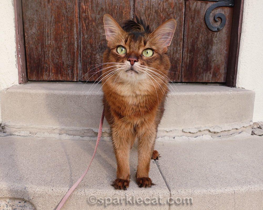 Somali cat on leash ready to go inside