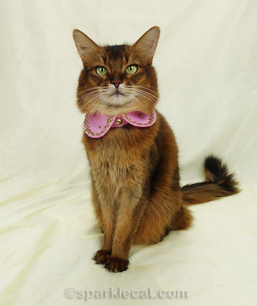 somali cat wearing pink Peter Pan collar
