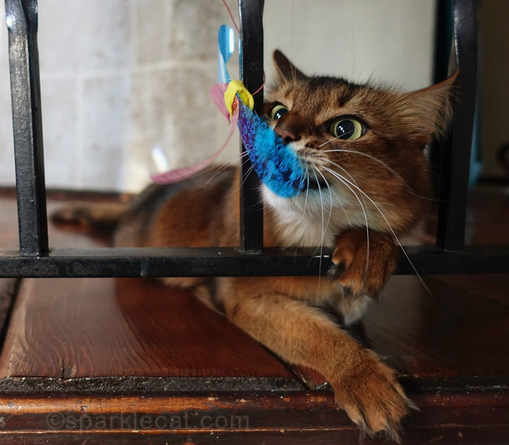 somali cat playing with RompiCatz toy