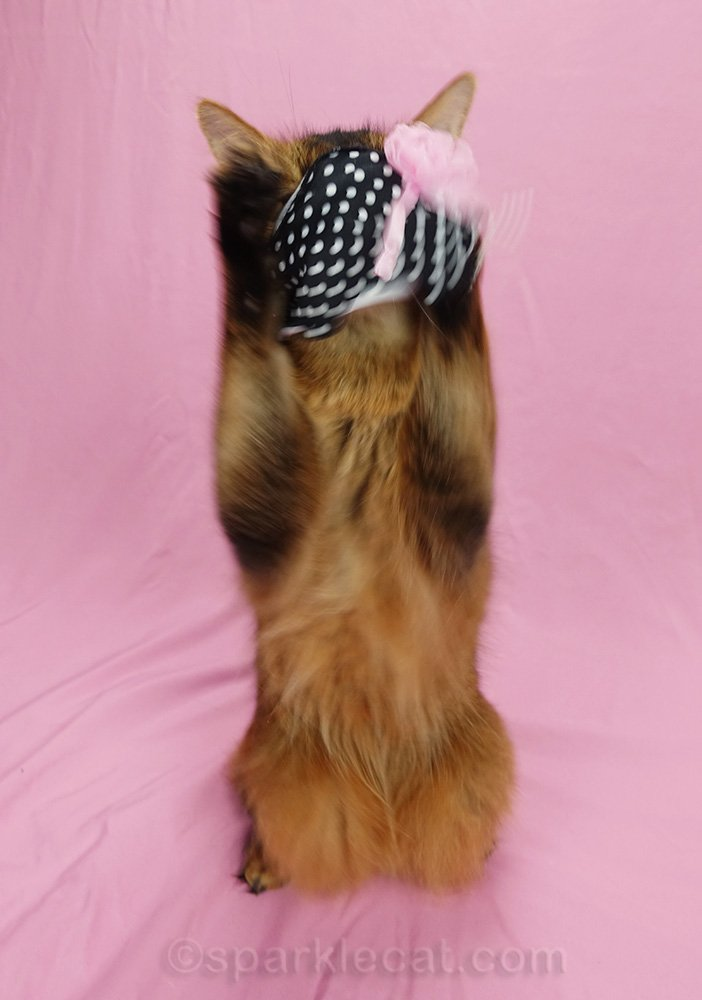 somali cat taking off scarf after wearing it as a face mask