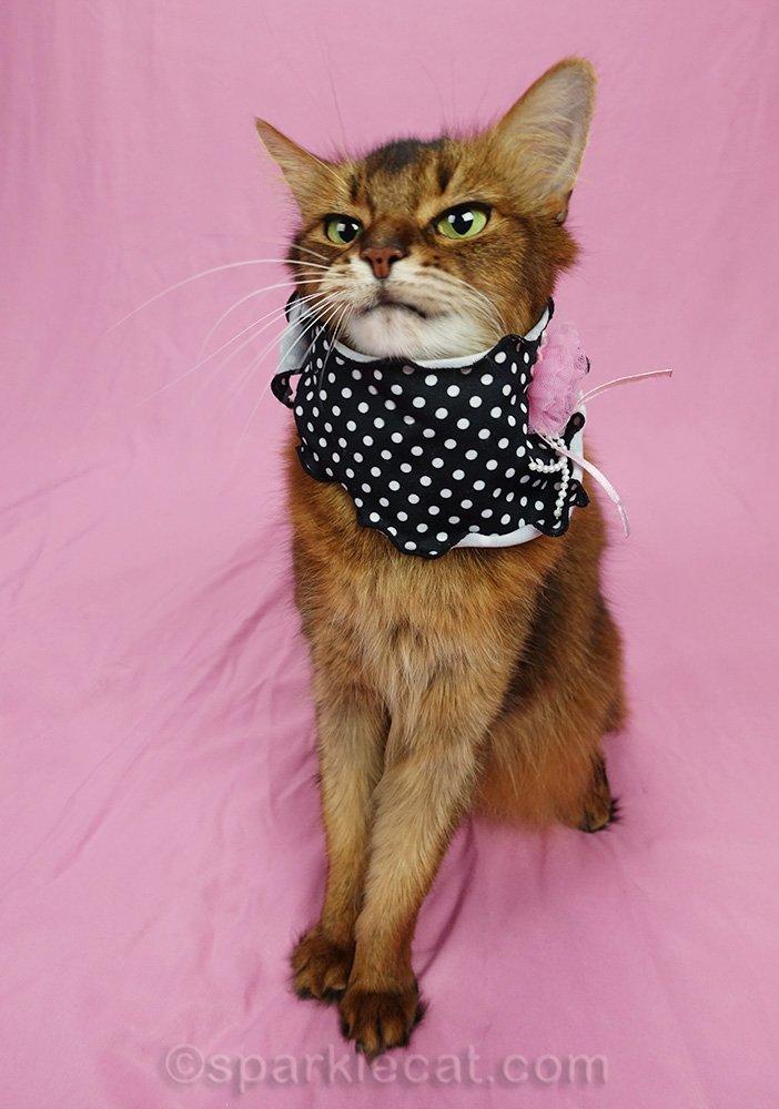 somali cat awkwardly wearing scarf
