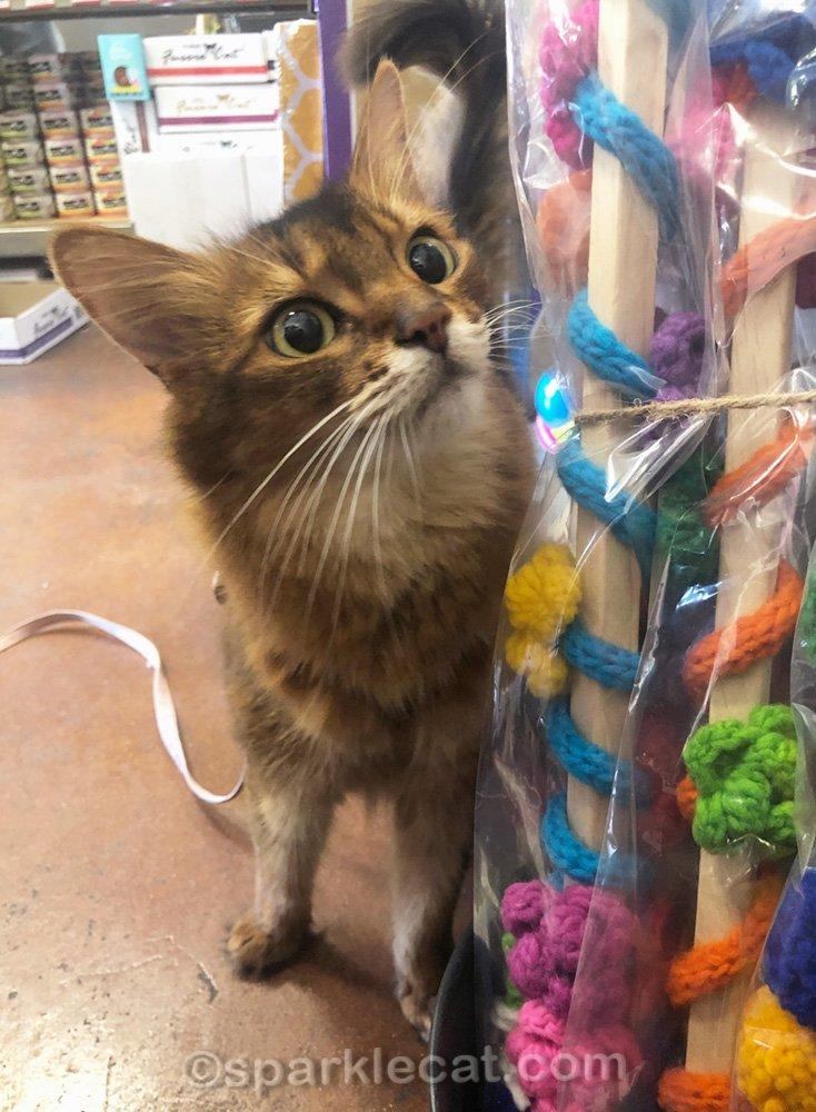 somali cat looking at cat toys