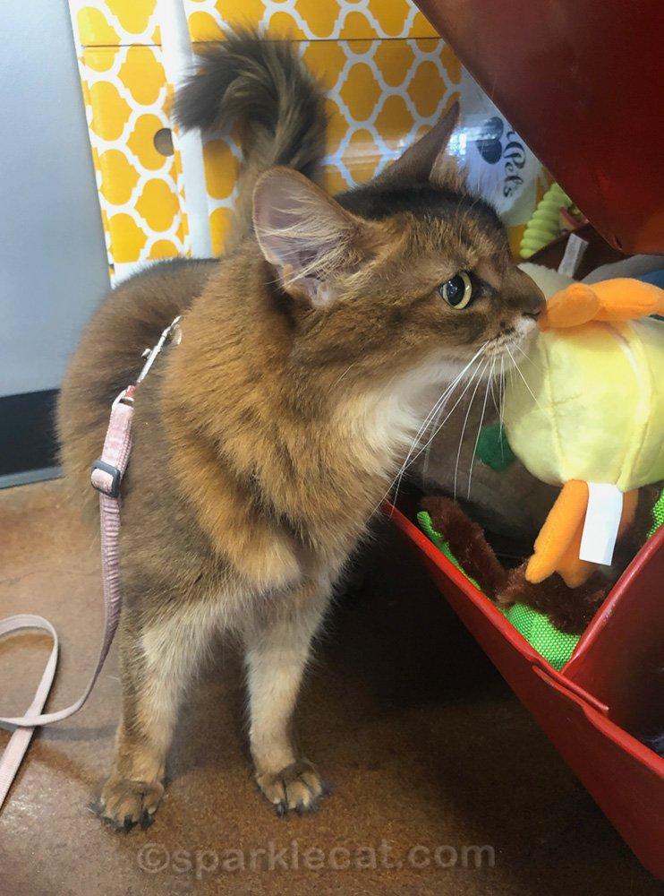 Somali cat looking at dog toys at pet shop