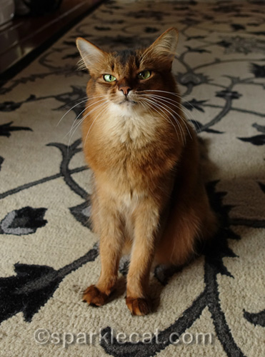 somali cat ready to list crimes against kitties