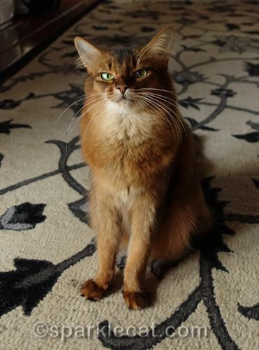 somali cat ready to list crimes against kitties