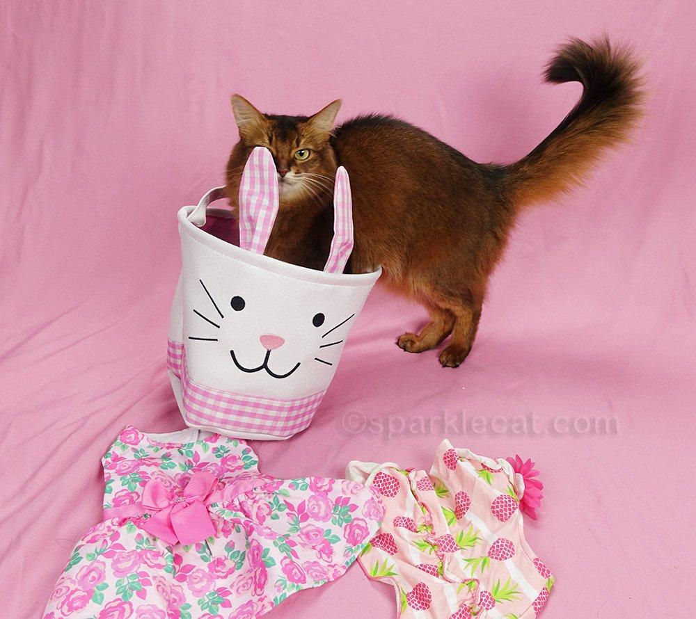 somali cat examining easter bunny basket