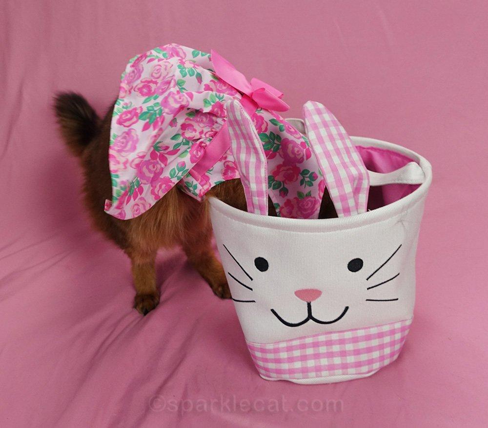 somali cat in dress looking in empty easter basket