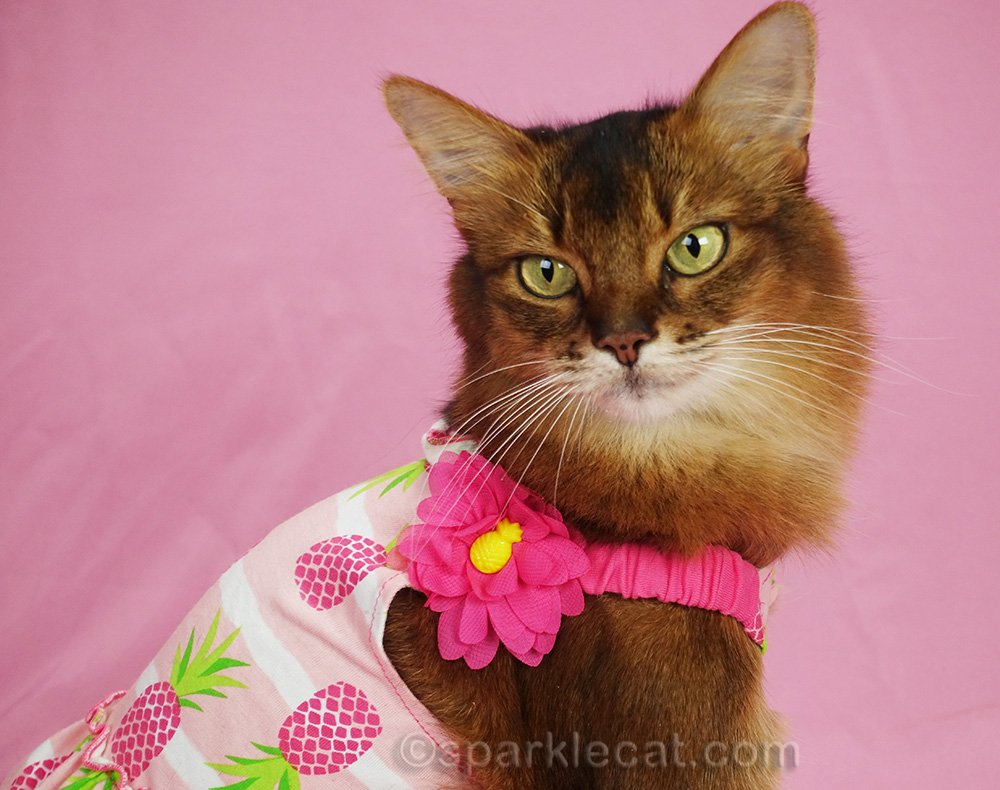 close up of somali cat in pineapple dress