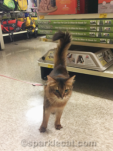 Somali cat at Petsmart on harness and leash