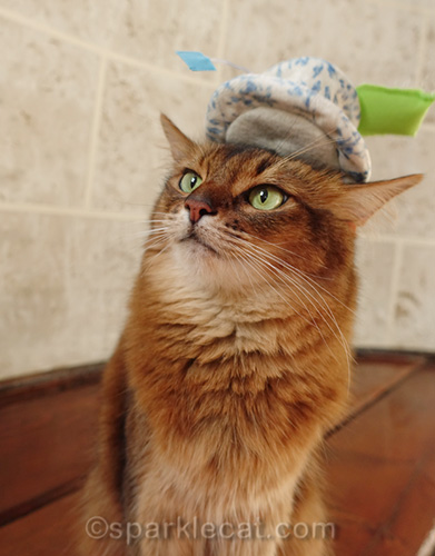 confused Somali cat with cat toy falling off her head