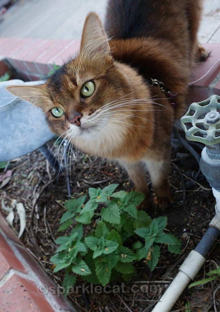 somali cat checking up on new catnip plant