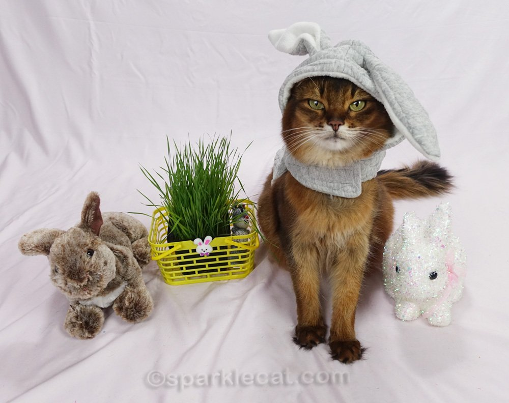 somali cat not thrilled with her easter bunny hoodie