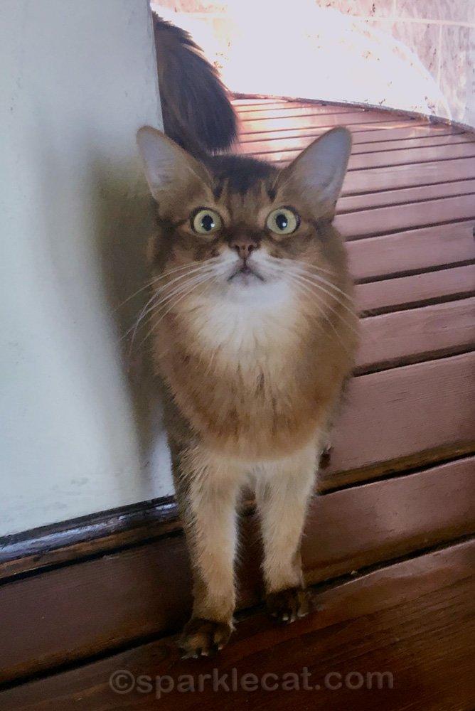 random somali cat photo