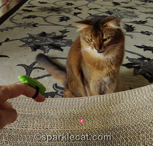 somali cat fascinated by laser from the Jackson Galaxy Air Prey Wand