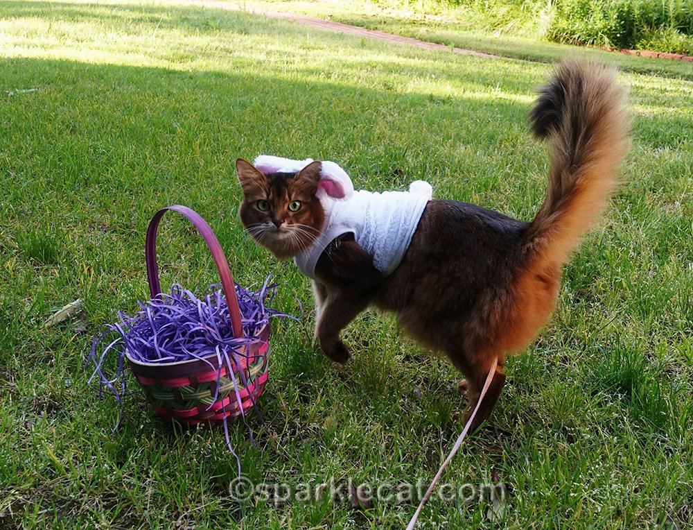 somali cat with empty easter basket, looking for eggs