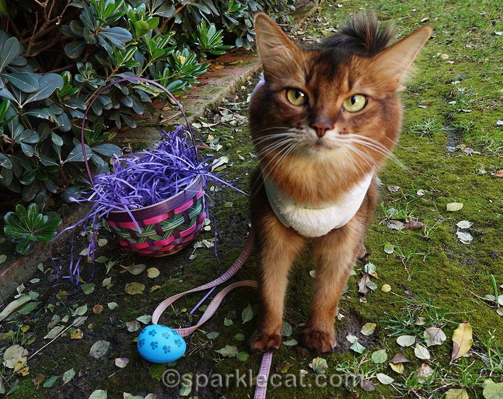 somali cat on easter egg hunt