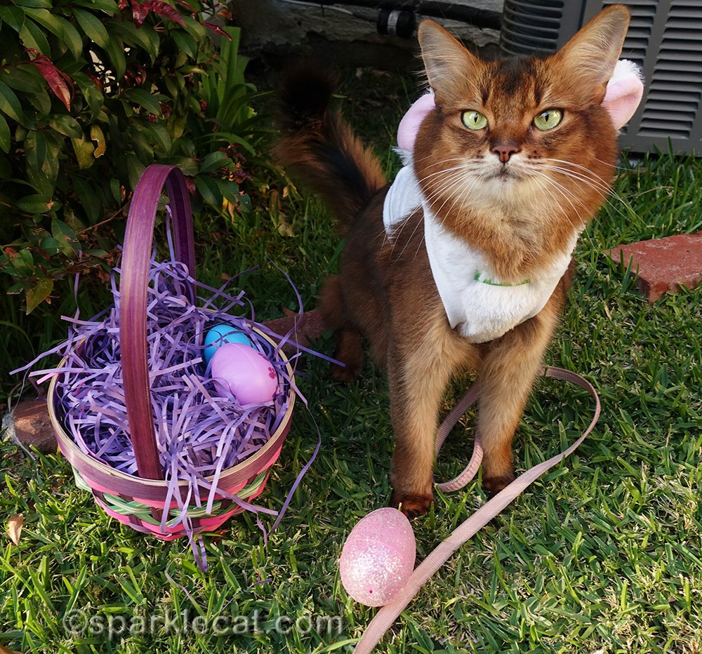 somali cat with easter eggs she found