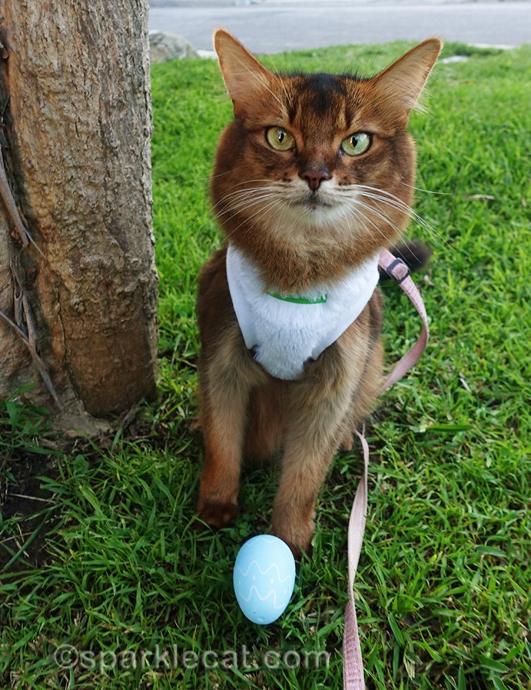 somali cat with another easter egg find