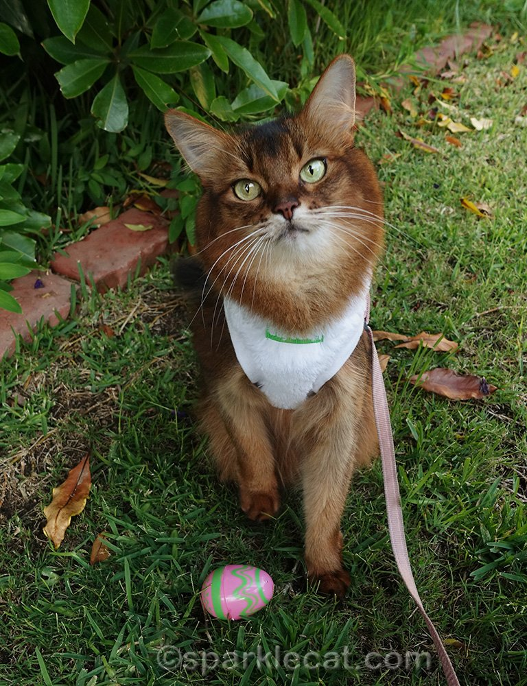 somali cat looking cute with easter egg