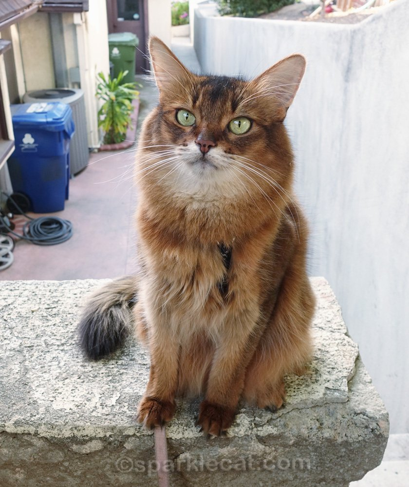 somali cat with view of the side of the house