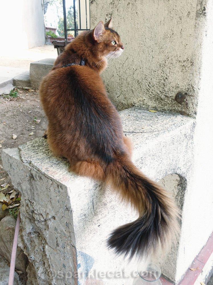 Somali cat posing on ledge by house