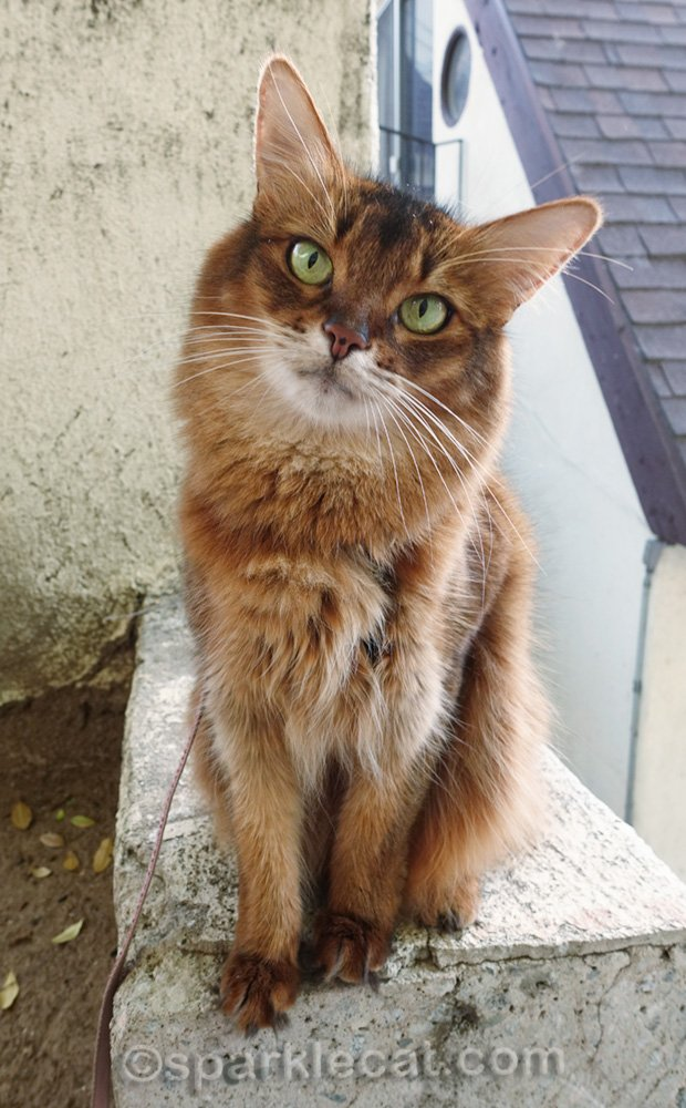 cute somali cat with head tilted
