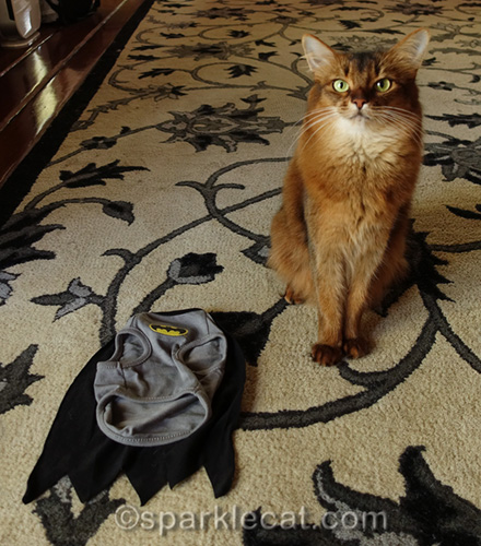 somali cat with BatCat t-shirt