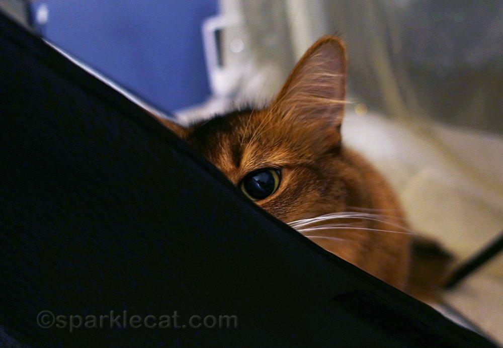 somali cat playing peek a boo with light box