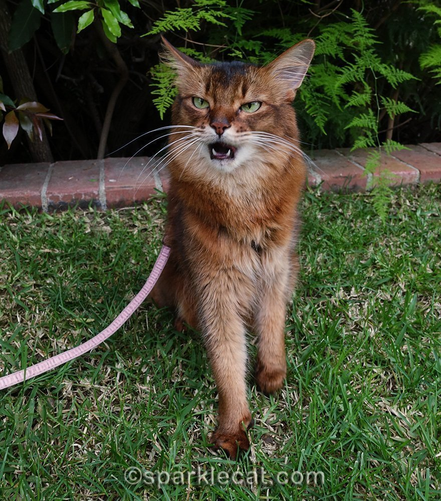 somali cat talking back at human