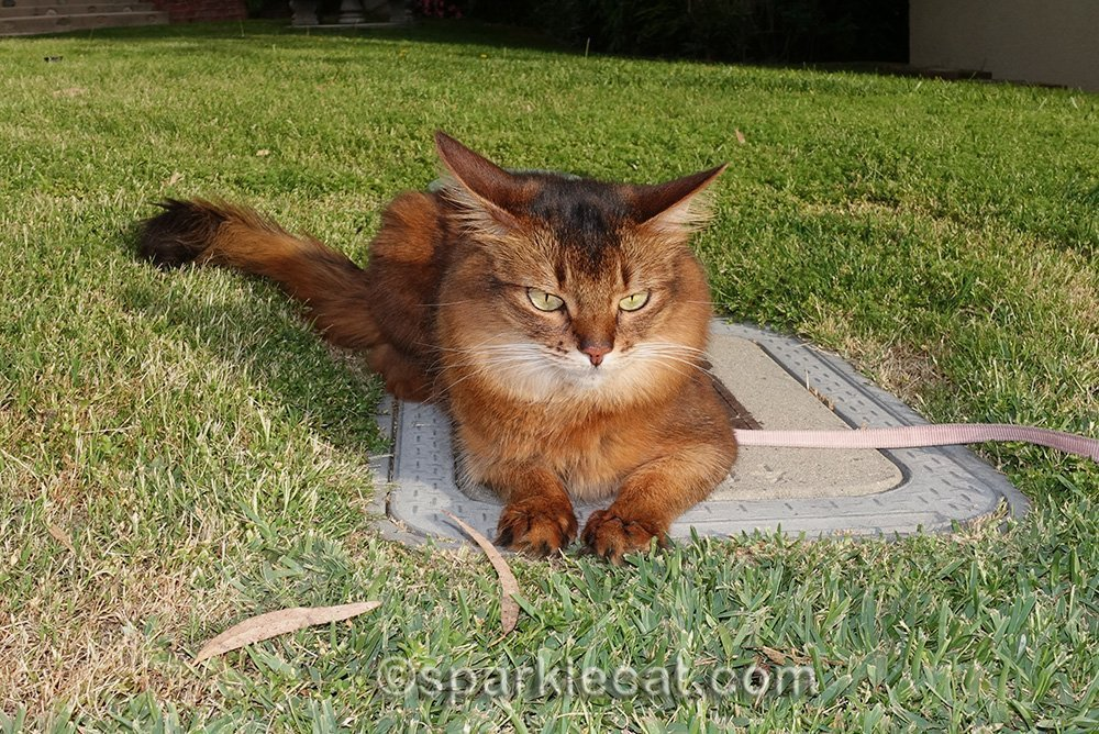 somali cat relaxing on water shutoff