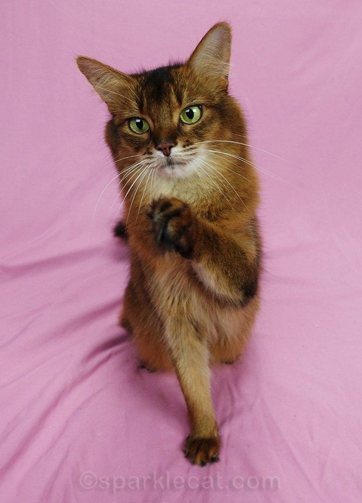 somali cat waving bye-bye