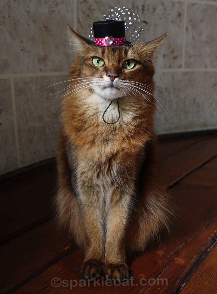 somali cat wearing tiny hat
