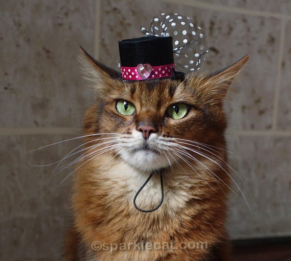 close of somali cat wearing tiny cat hat