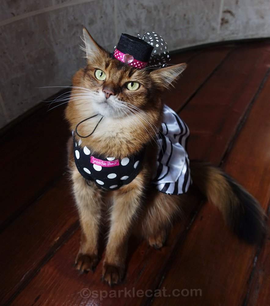 somali cat in party dress and matching tiny cat hat