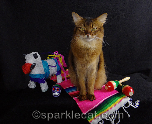 somali cat poses with Mexican props