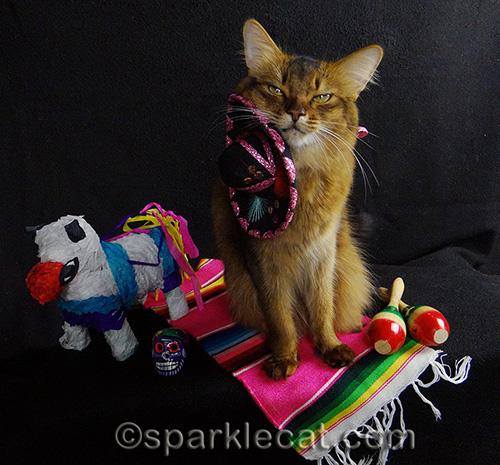 somali cat with sombrero sideways