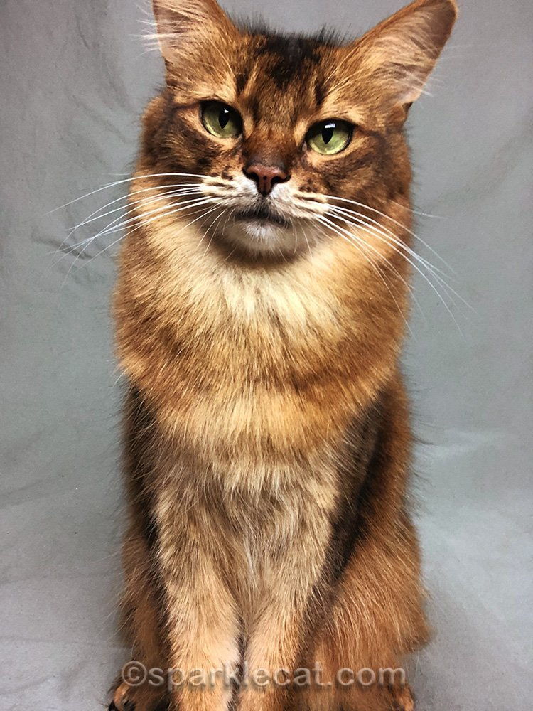 Somali cat selfie with ear tips out of frame
