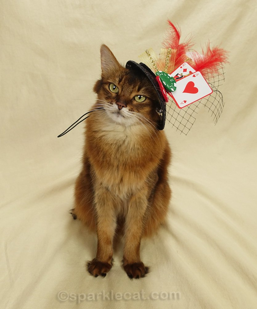 Somali cat wearing a card game hat
