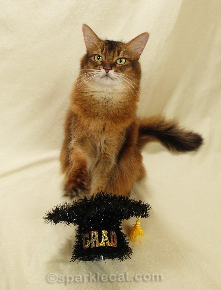 somali cat with graduation cap prop