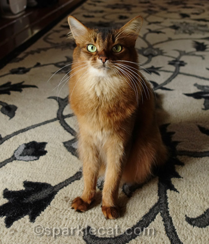 somali cat speaking out for the feral cats of anaheim