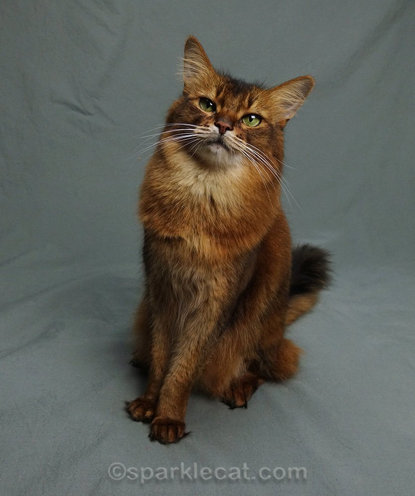somali cat posing in her new studio