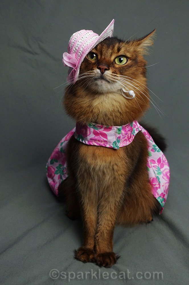 somali cat in outfit that doesn't look quite right