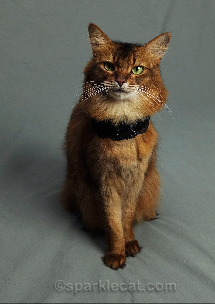 somali cat wearing Goth choker