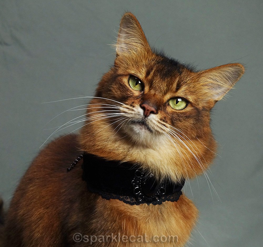 somali cat close up with choker