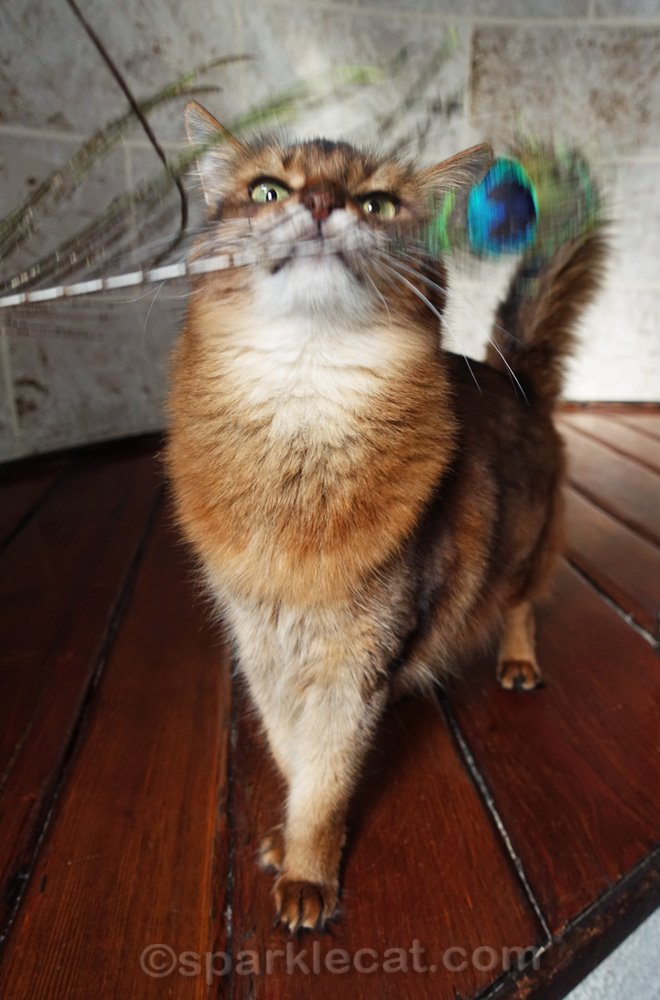 somali cat about to bite peacock feather