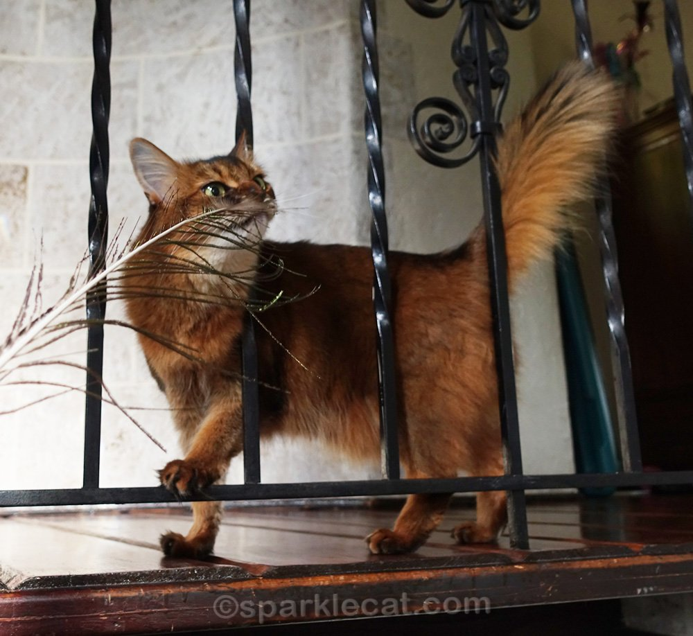 somali cat playing with peacock feather around some wrought iron