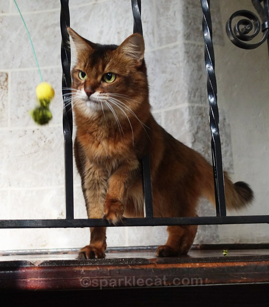 Somali cat focused on cat toy